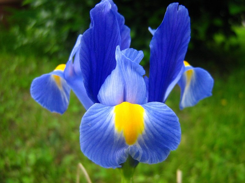 iris, perunika