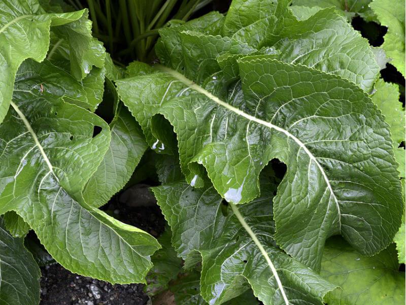 biljka hren