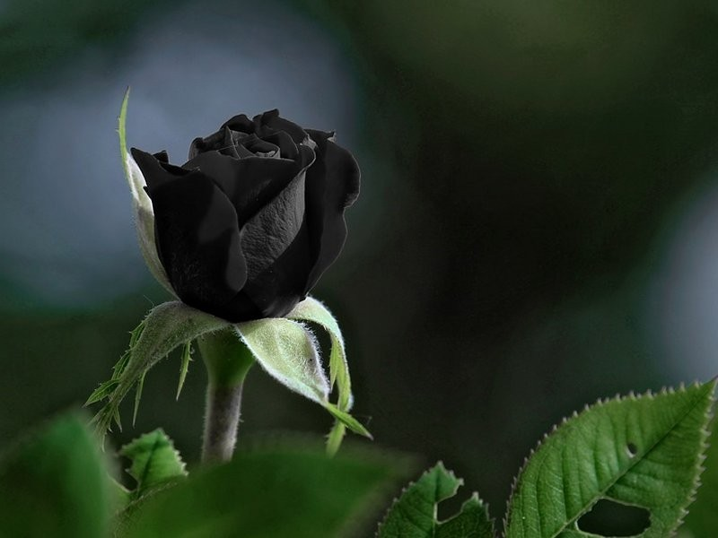 crna ruža