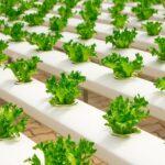 hidroponski uzgoj