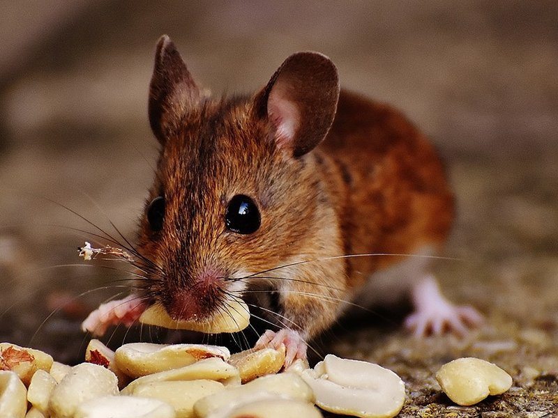 miš jede