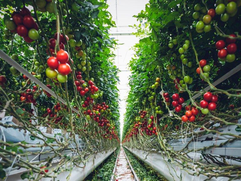 vertikalni uzgoj rajčice