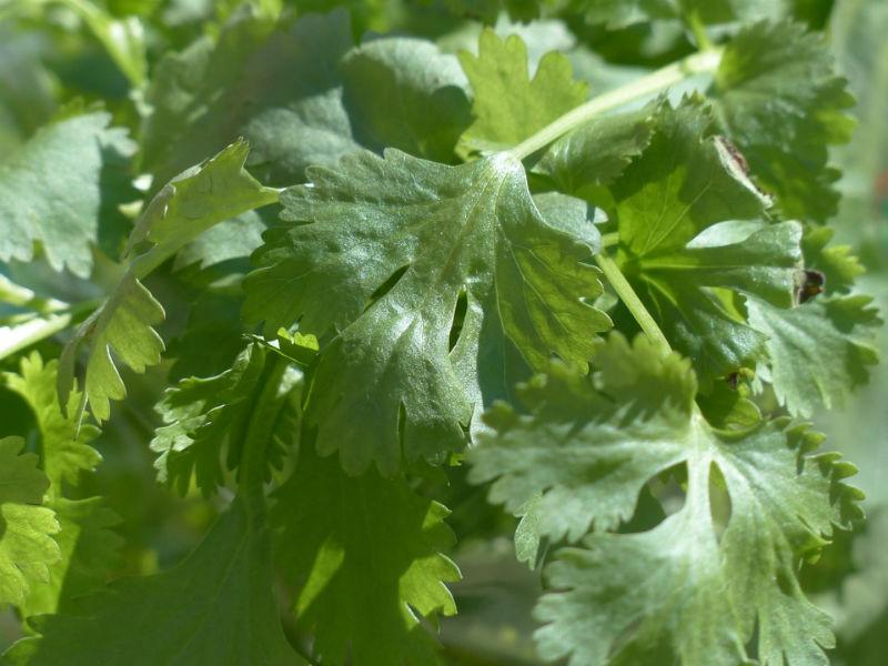 korijander biljka