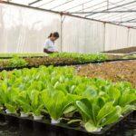 uzgoj u plasteniku