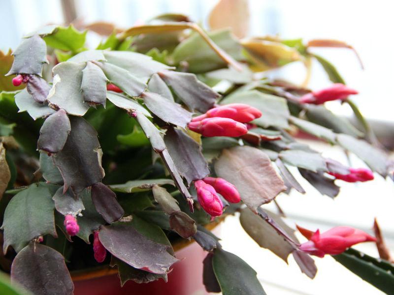 božićni kaktus