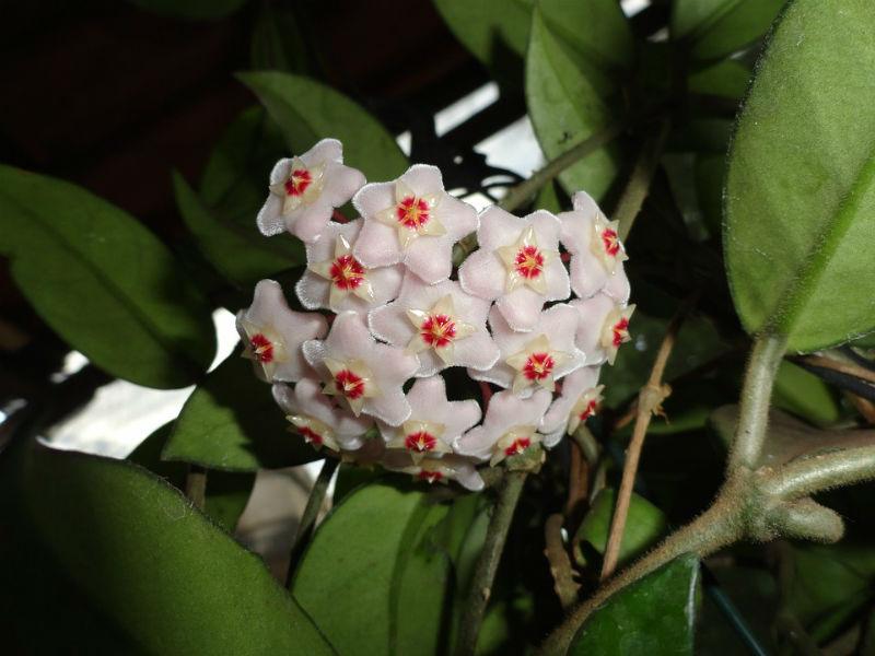 voštani cvijet