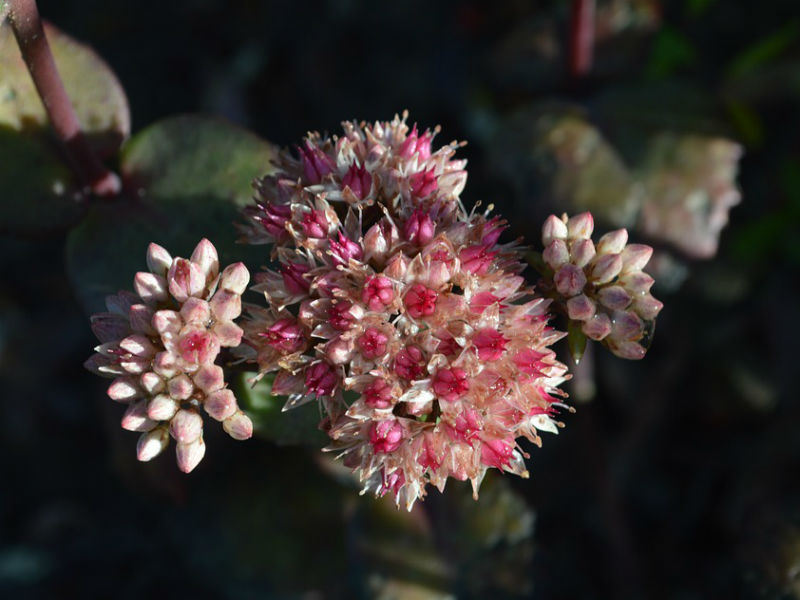 žednjak cvijet
