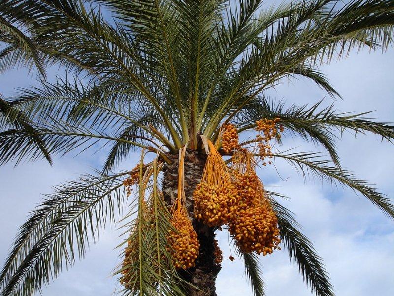 palma-datulje