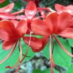 klerodendron