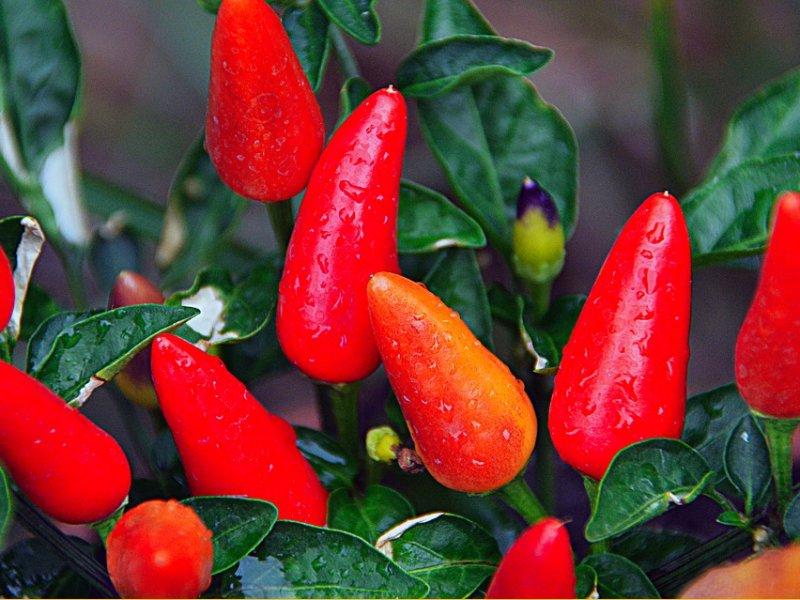 crvene-cili-papricice