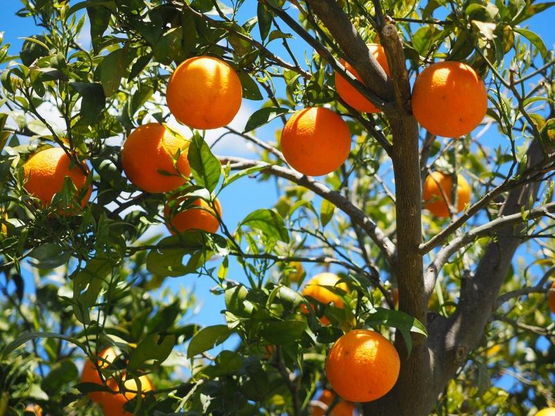naranče na drvetu