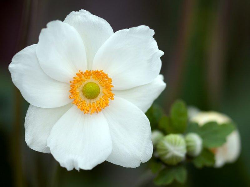 Šumarica (anemone)