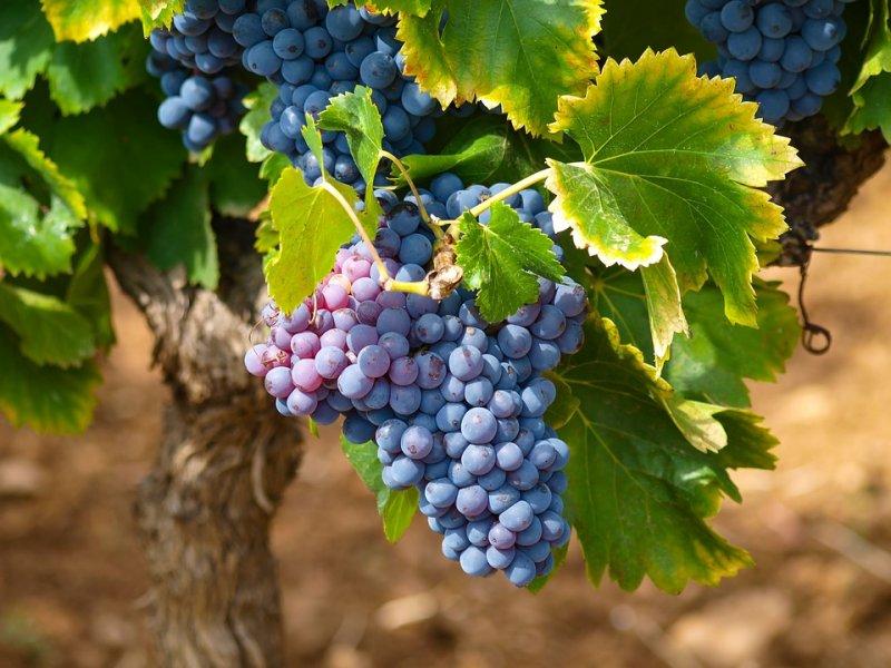 grožđe na lozi