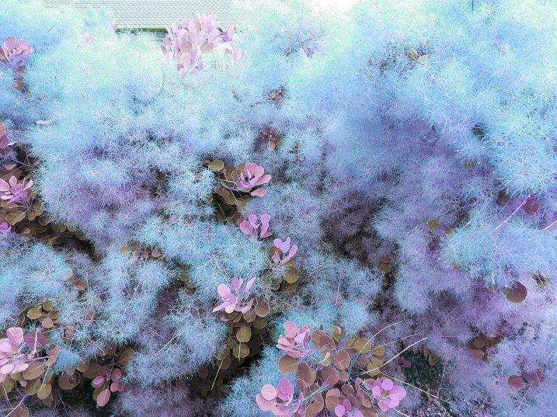 rujevina u cvatu