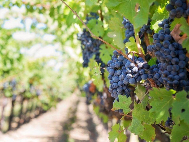vinova loza (grožđe)