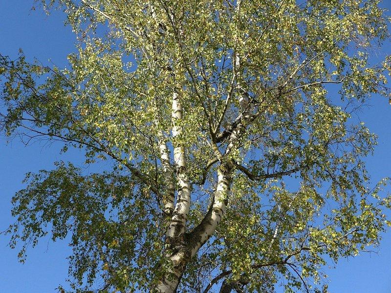 drvo breze