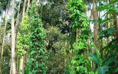 crni papar biljka