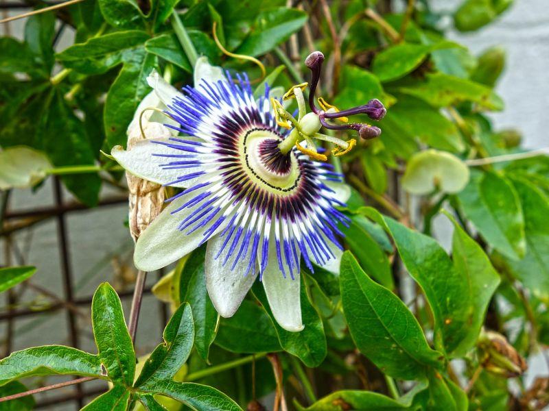 pasiflora cvijet